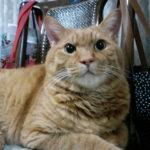 【猫の消化器疾患】慢性下痢&嘔吐から「悪性リンパ腫の疑いが大」の診断を受けたエレナが奇跡の回復をするまでに行なったこと
