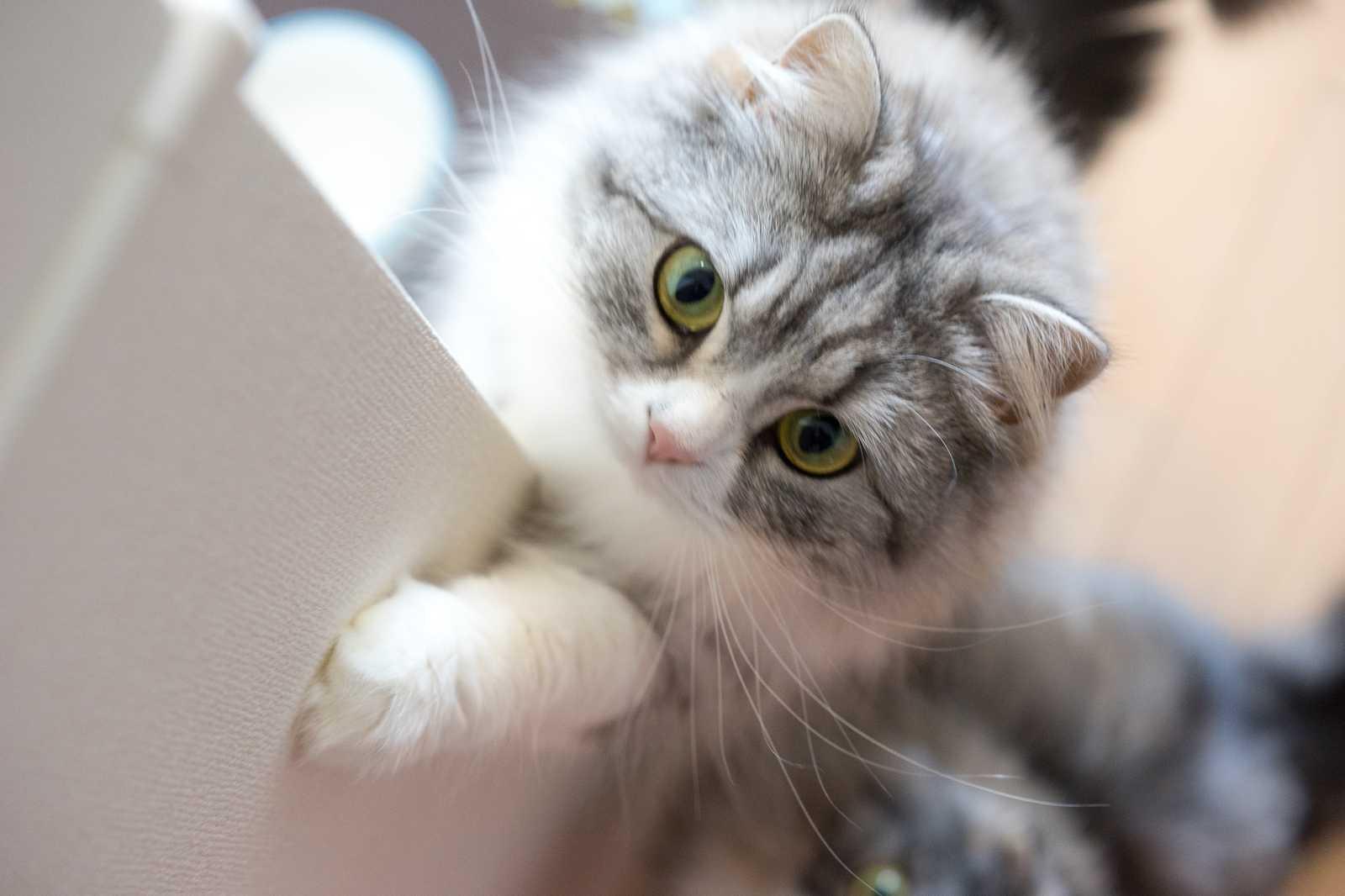 【猫の慢性下痢&嘔吐】悪性リンパ腫とIBD(炎症性腸疾患)について
