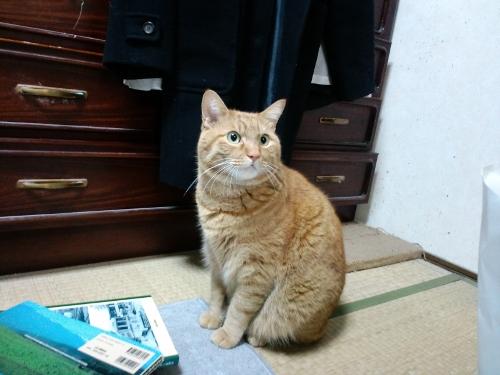 【茶トラ猫エレナの闘病記】見た目的には絶好調なものの、体重が5.1キロに減少。ステロイドが以前より飲めなくなっている影響?
