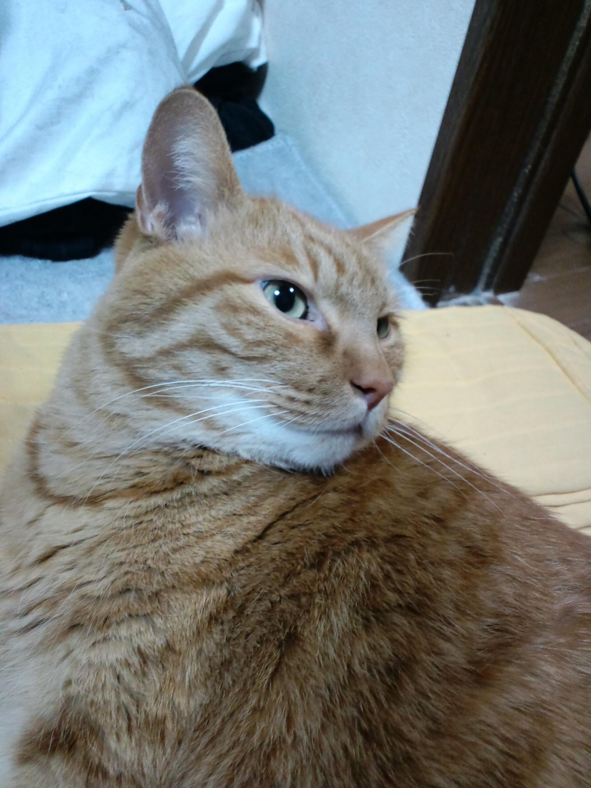 【茶トラ猫エレナの闘病記】さらに体重が5.26キロまで増えるも、ある「事件」が発生!ステロイドが…