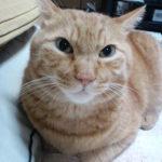 【茶トラ猫エレナの闘病記】5.0キロまで落ちた体重が5.18キロまで復活!嘔吐も止まり便秘も解消し、再びすこぶる好調に!