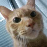 【茶トラ猫エレナの闘病記】「悪性リンパ腫」の疑い診断から4ヶ月、最新の血液検査の結果報告!