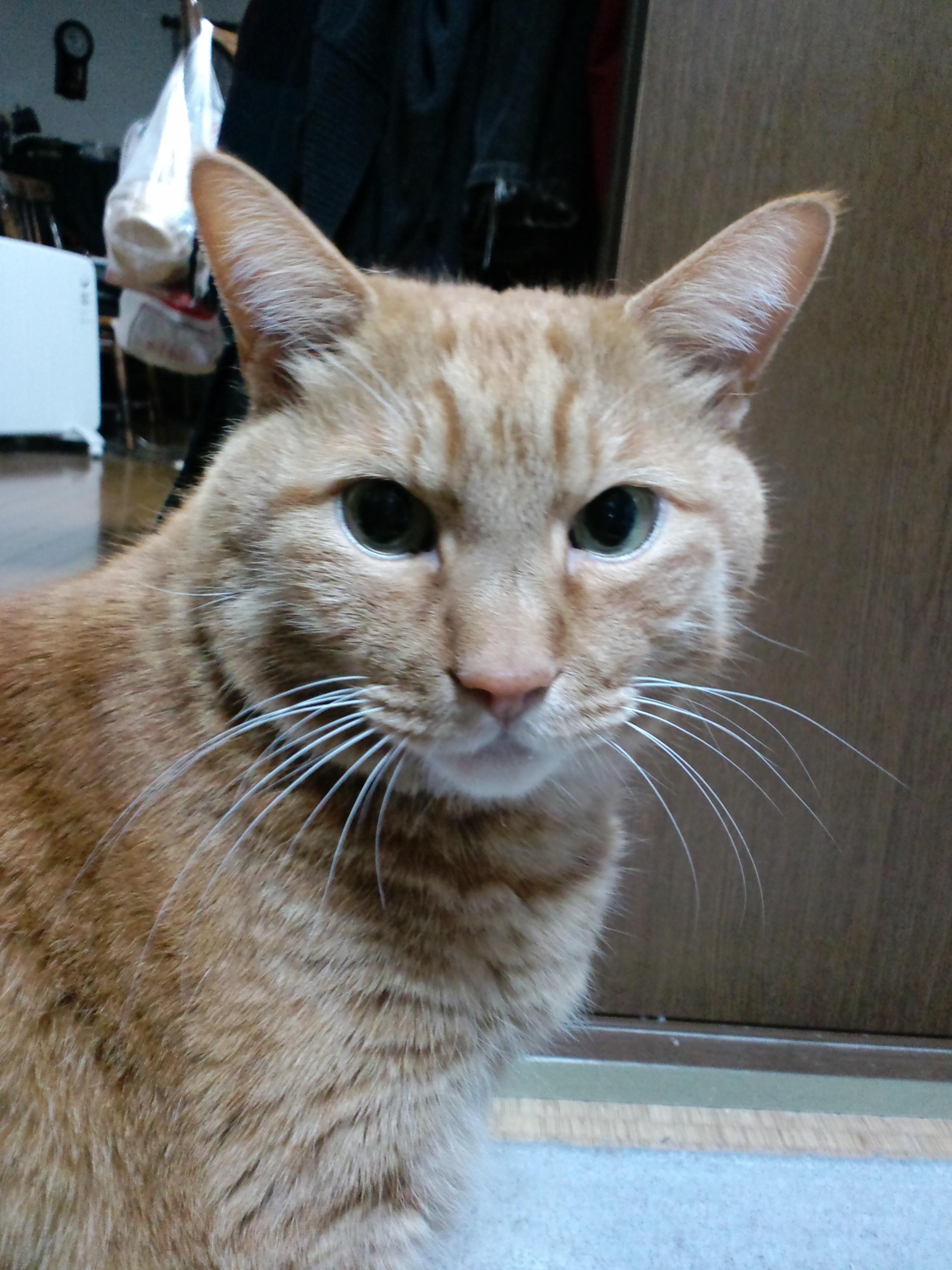 【茶トラ猫エレナの闘病記】「リンパ腫の疑い」診断後、約半年経つも、絶好調の状態をキープ!