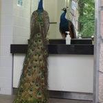 【ビックリ】多摩動物公園のトイレに入ると、そこには巨大なクジャクが!まさか檻から脱走!?
