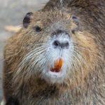カピバラに似た巨大ネズミ「ヌートリア」が姫路城を破壊する!?