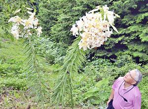 福島・二本松で奇妙なヤマユリが咲く!つぼみが103個!庭園主は期待に胸「もっと花が増えるかも!」