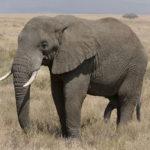 """アフリカゾウの密猟を禁止する象牙取引全面禁止の制度に日本政府が反対!""""象牙大国""""の日本の闇"""