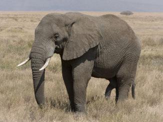 1280px-serengeti_elefantenbulle