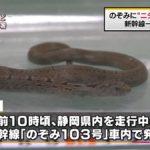 """【画像あり】新幹線の車内で""""ニシキヘビ""""が発見され、捕獲されたニュースが出回る!ネット民「これはシマヘビだろ!」"""