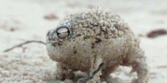 【動画】想像もしない鳴き声を出す、なんとも可愛いカエルがこちら!