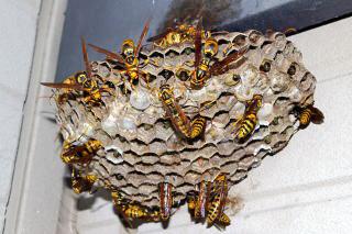 【お悩み】自宅の敷地に蜂の巣を作られた!どうすればいい!?