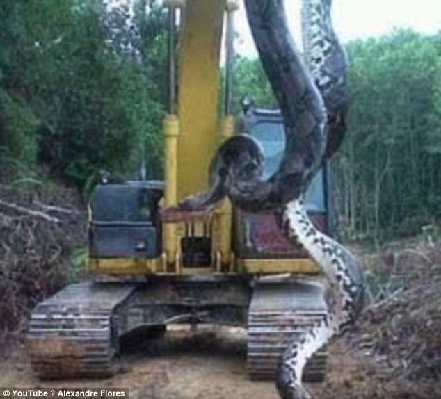 【驚愕】世界最大級の巨大ヘビがブラジルで捕獲される!長さ10メートル、重さはなんと400キロ!