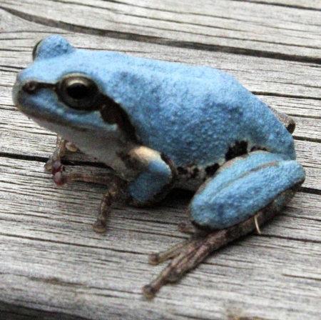 【なぜ?】埼玉で次々青いアマガエルが発見される!突然変異の可能性も!ネットの声「アレの影響?」