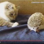 【面白カワイイ動画】猫がハリネズミをつんつん!油断した瞬間に思わぬ「災難」が!
