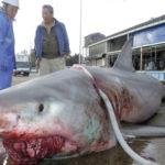 【ヤバイ】熊野灘で巨大ホオジロザメ(人食いザメ)が捕獲される!全長5メートル、重さ1.5トンのかなりの大物!