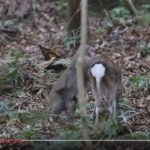 【驚き】屋久島でシカと交尾をしようとするニホンザルが発見される!研究者「非常に珍しい現象」