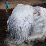 【なにこれ?】フィリピンの海岸に謎の白い毛むくじゃらの巨大生物が漂着!「ジュゴンかマナティの類では?」「UMAだろ!」