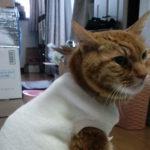 【茶トラ猫エレナの闘病記】「悪性リンパ腫の疑い」診断から1年3ヶ月が経過!エレナの「今」の姿をお届け!