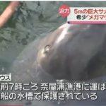 【驚き】幻の巨大サメ「メガマウス」が立て続けに2件!千葉県館山沖に続いて三重県熊野灘で発見される!大地震を心配する声も!