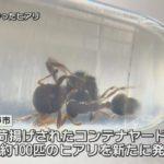 【マズイ】先日に兵庫・尼崎市のコンテナ内で発見された殺人アリの「ヒアリ(火蟻)」、今度は神戸市ポートアイランドでも100匹発見される!