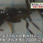 """ヒアリが横浜港でサナギ・幼虫を含む700匹以上発見!政府が大量の""""毒エサ""""の設置を決めるも、「逆効果」との指摘を受け、対策を変更!"""