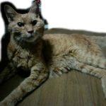 【茶トラ猫エレナの闘病記】リンパ腫確定診断からおよそ2ヶ月、4キロ以上あった体重が激しく減少し、ついに3キロを切る