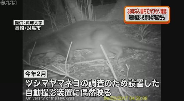【歴史的発見か!?】国内で38年ぶりに野生のカワウソが長崎・対馬で確認される!絶滅種のニホンカワウソの可能性も!