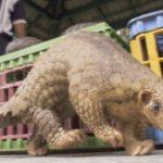 絶滅危惧種の珍獣「センザンコウ」の大量密輸がタイで摘発される!全身を覆うウロコが秘薬や高級食材の原料として高値で取引!