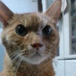 【茶トラ猫エレナの闘病記】末期のリンパ腫診断から4ヶ月!自宅で継続中の猫の皮下補液(点滴)の方法を紹介!