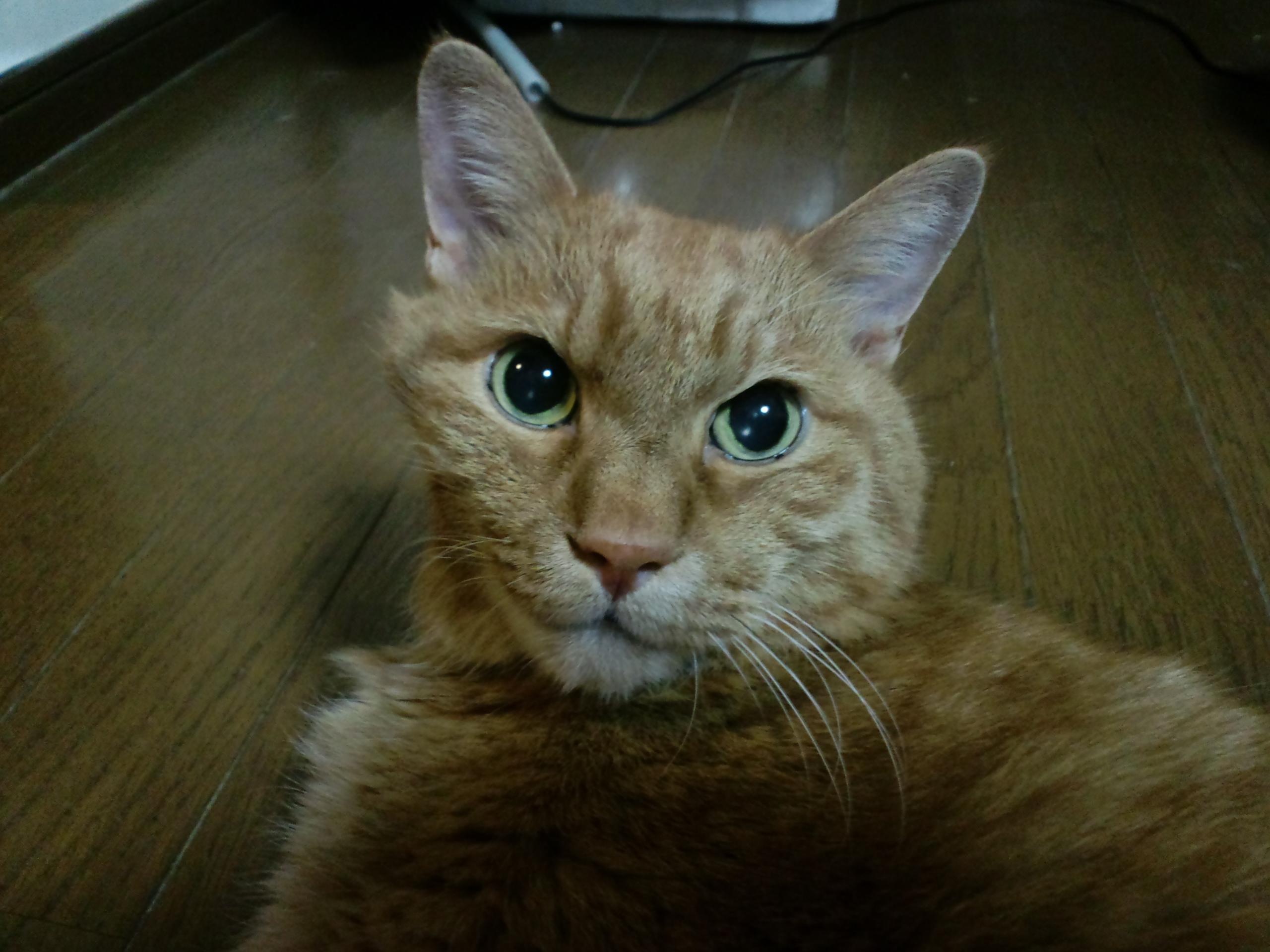 【茶トラ猫エレナの闘病記】2年半もの長き病魔(悪性リンパ腫&腎不全)との戦いを終えたエレナ、どうか安らかに