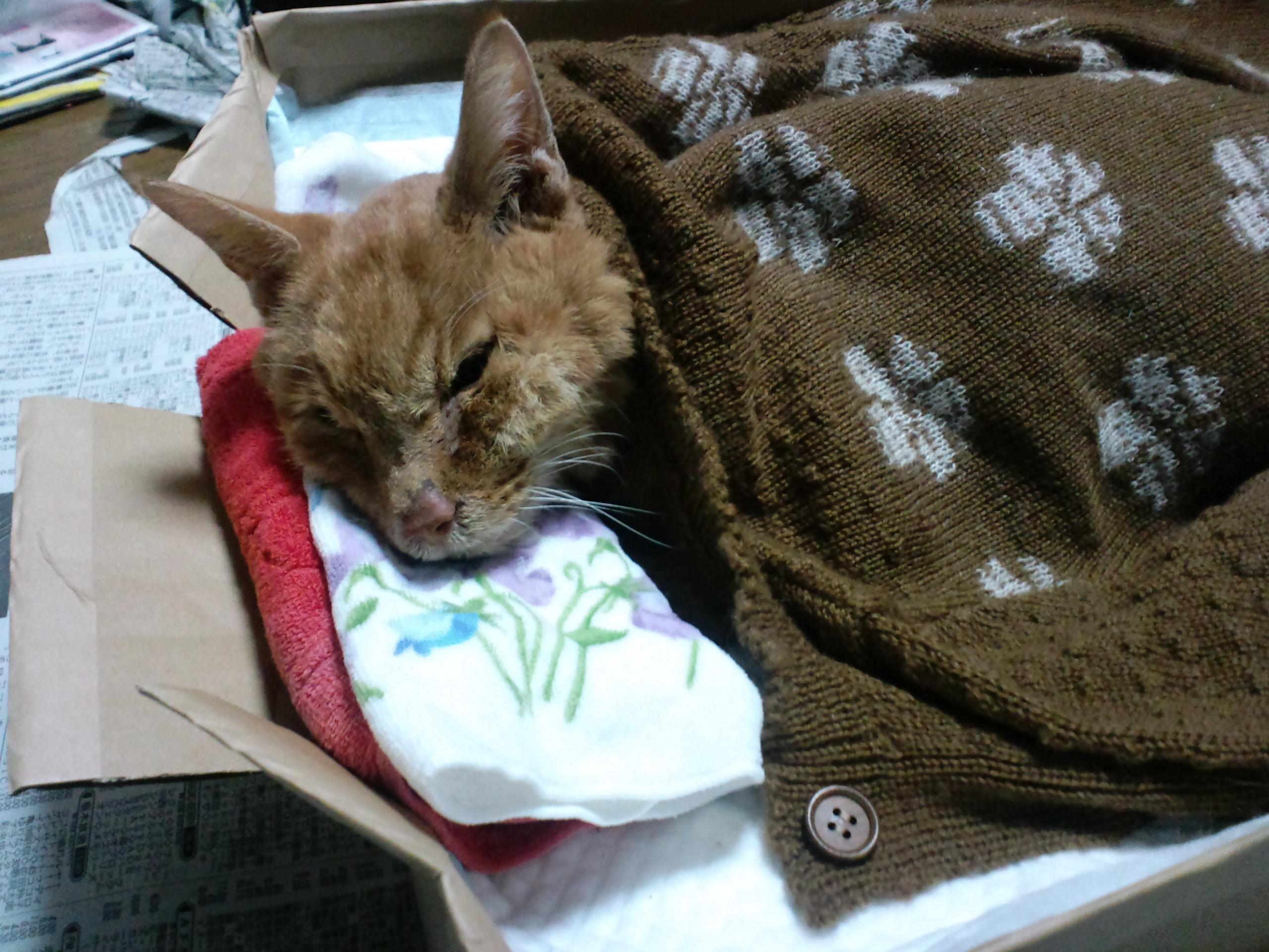 【茶トラ猫エレナの闘病記】緩やかな体調低下から突然の激しい全身の痙攣、そして、最後の時へ…