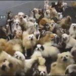 【酷すぎる】犬猫400匹を繁殖目的で過密飼育!福井県坂井市の「パピーミル(子犬工場)」に県が立ち入り調査!衝撃の光景にネットでも怒りの声!