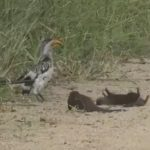 【カワイイ】大きな鳥(ミナミキバシコサイチョウ)の前でマングースが「死んだふり」!?あまりの面白さに撮影者も大笑い!