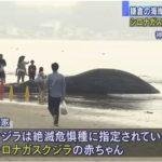 【驚き】神奈川・鎌倉の由比ヶ浜にシロナガスクジラ(10m)が打ち上げられる!絶滅危惧種で日本初の事例!