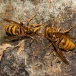 【怖い】長野・松本市「マウンテンサイクリングin乗鞍」で61人が蜂に刺される!キイロスズメバチか!2人がハチの被害でリタイア!