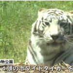古庄晃さん襲ったホワイトタイガー(リク・オス5歳)、殺処分されない方向に!遺族「平川動物公園で飼育してください」