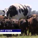 【でか!】オーストラリアの牧場に住む「デカすぎる牛」が話題に!あまりに巨大すぎて食肉にされるのを免れる!