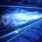 【なぜ?】幻の深海魚「リュウグウノツカイ」が日本各地で次々見つかる!CNNは「地震と津波の懸念高まる」と報じる!